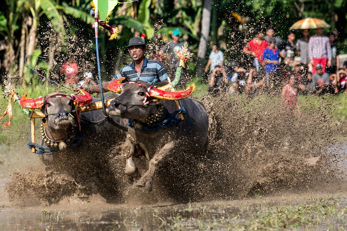 A racer spurs his buffaloes during a makepung lampit buffalo race in Jembrana. JP/ Agung Parameswara