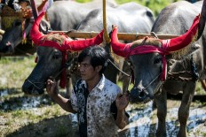 A participant holds his buffaloes before a race in Kaliakah village in Jembrana. JP/ Agung Parameswara