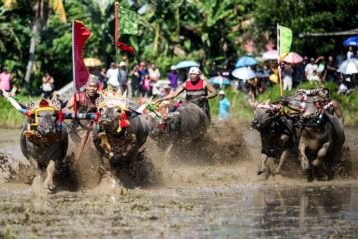 Three pairs of buffaloes race through muddy water in Jembrana. JP/ Agung Parameswara