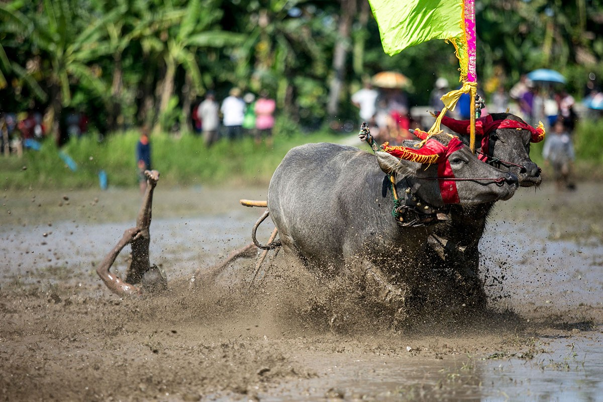 A jockey falls in the middle of a race in Kaliakah village in Jembrana. JP/ Agung Parameswara