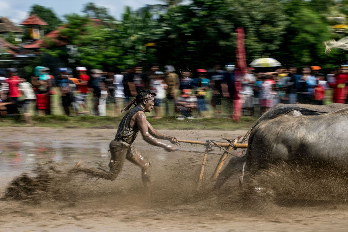 A participant runs to control his buffaloes during makepung lampit in Kaliakah village in Jembrana. JP/ Agung Parameswara