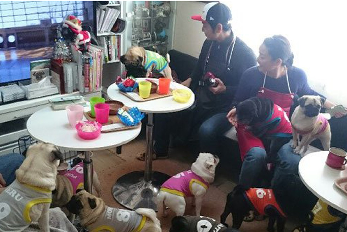 Dog cafe in Kyoto exclusively for pugs and humans
