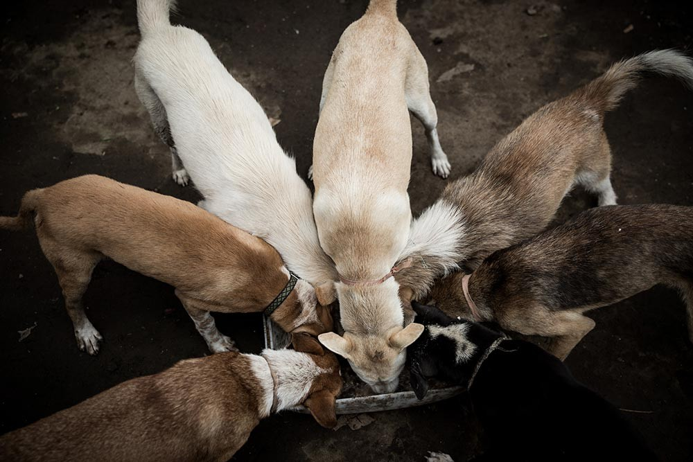 Feeding time: Gung Dewi's dogs devour their food. JP/ Agung Parameswara