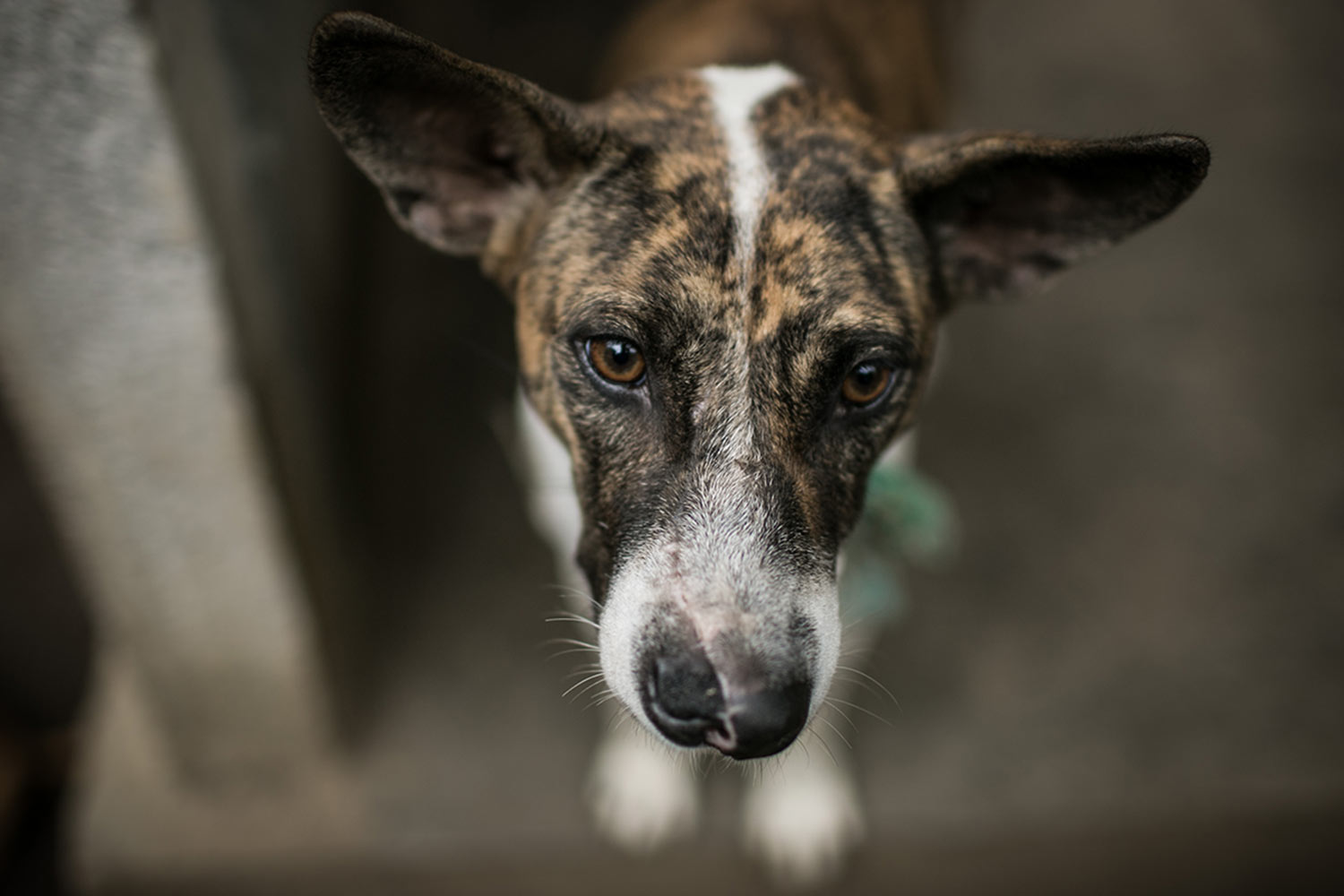 Bali's dogs in the eyes of Gung Dewi