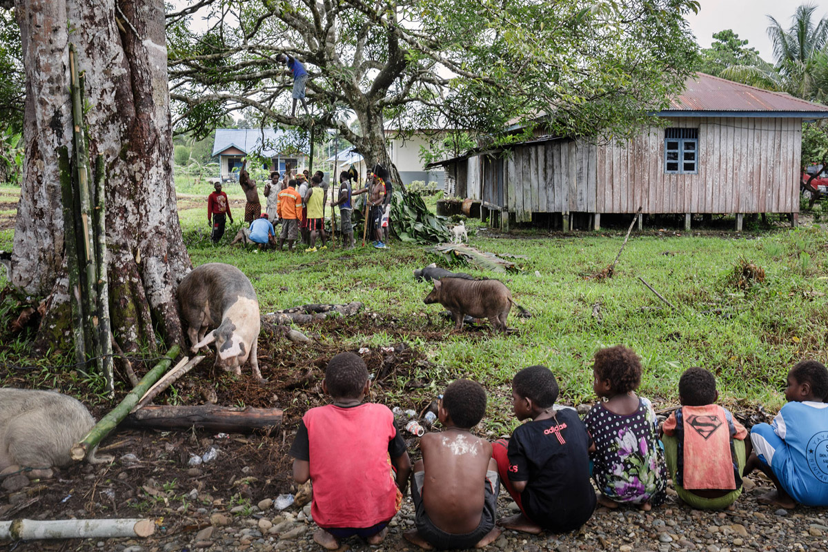 Papuan mountain tribes keep 'roasting stone' tradition alive