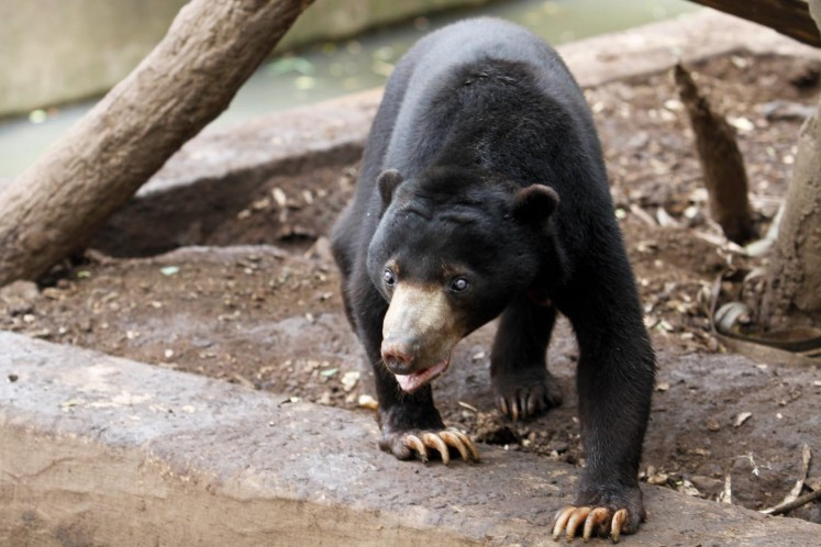A sunbear in its enclosure at Bandung Zoo