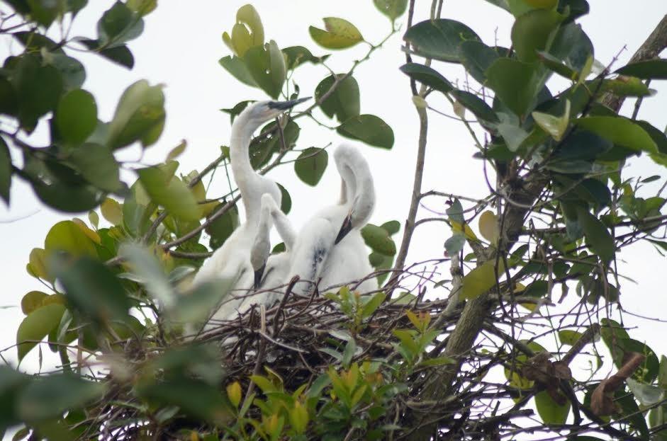 Protected waterbirds found in Ketapang, indicating healthy wetlands