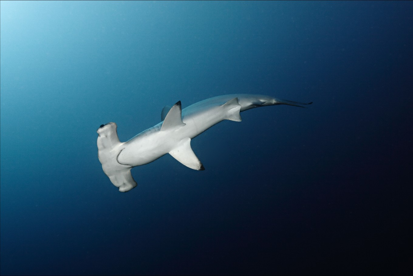 Sharks feel the love as nations push protection of marine species