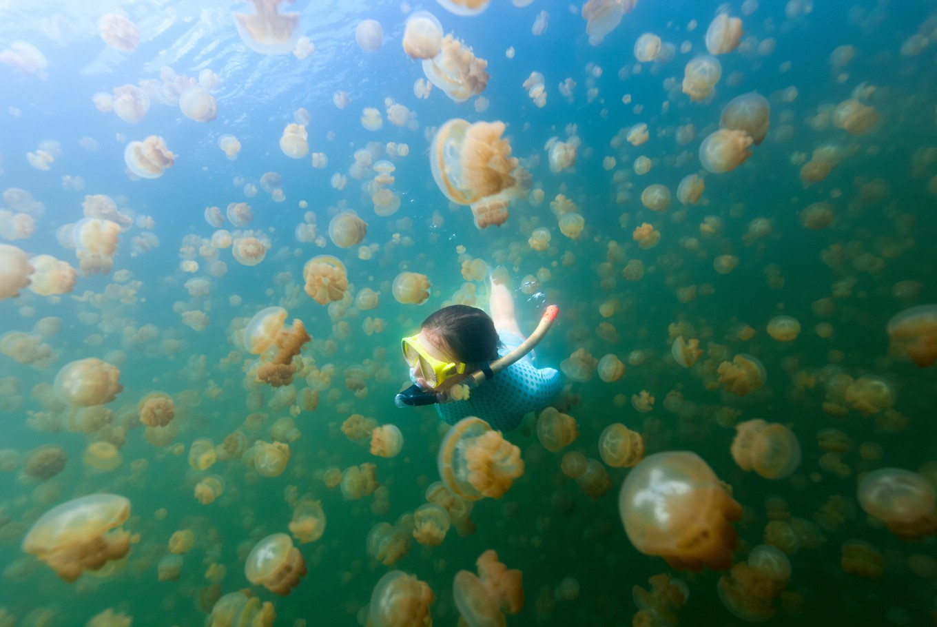 Swimmers return to bathe with Palau's golden jellyfish
