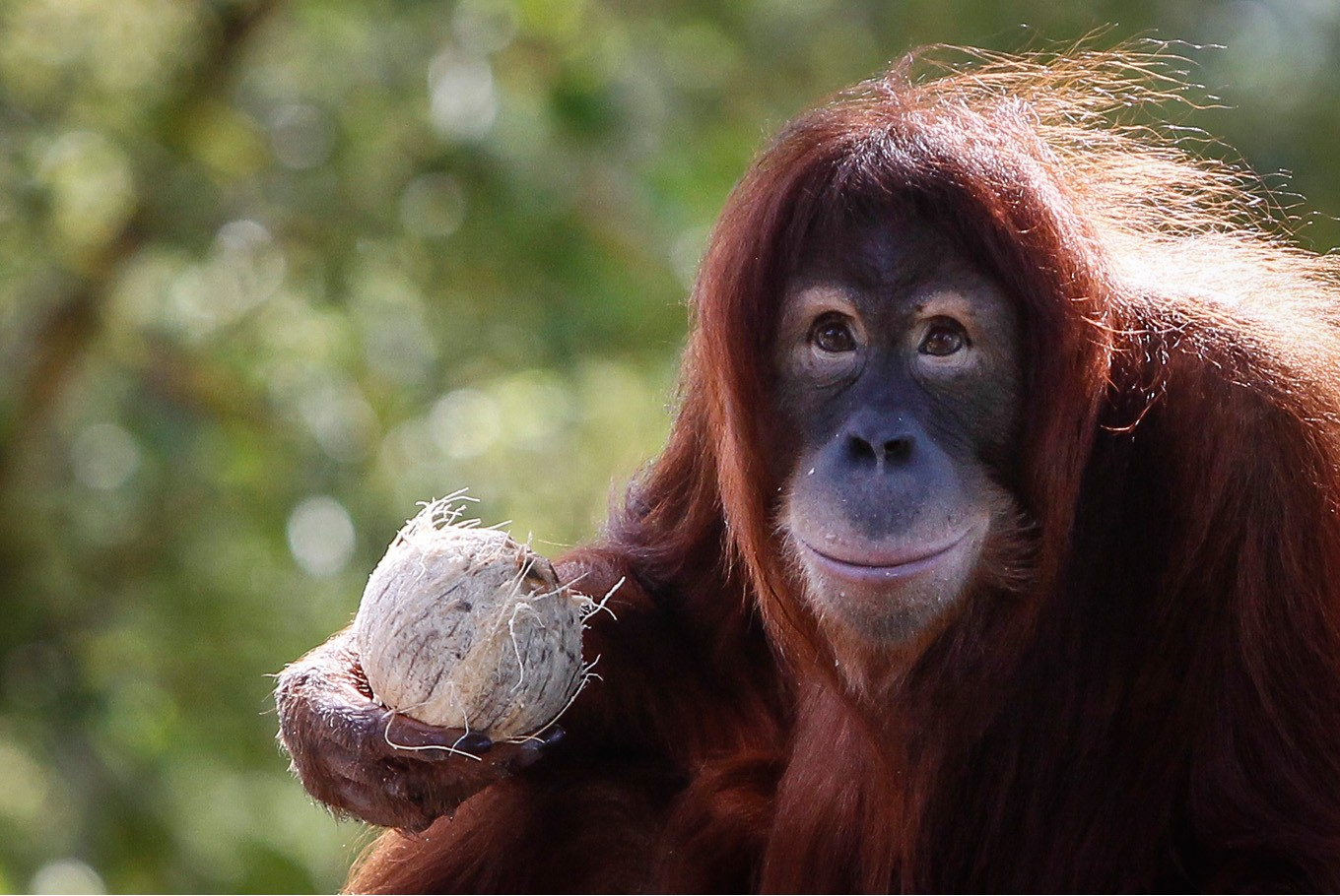 Tinder for apes? Dutch orangutans test out computer dating