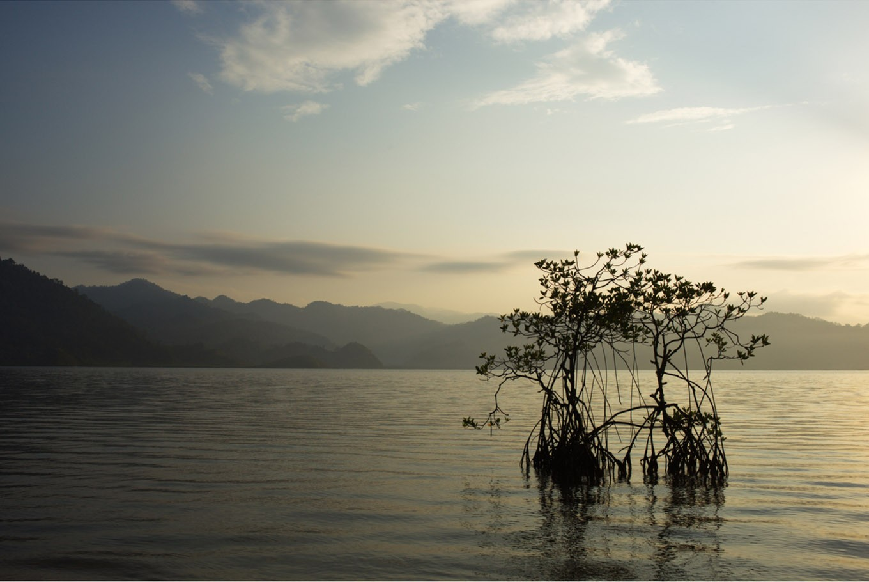 Jambi mangrove replant