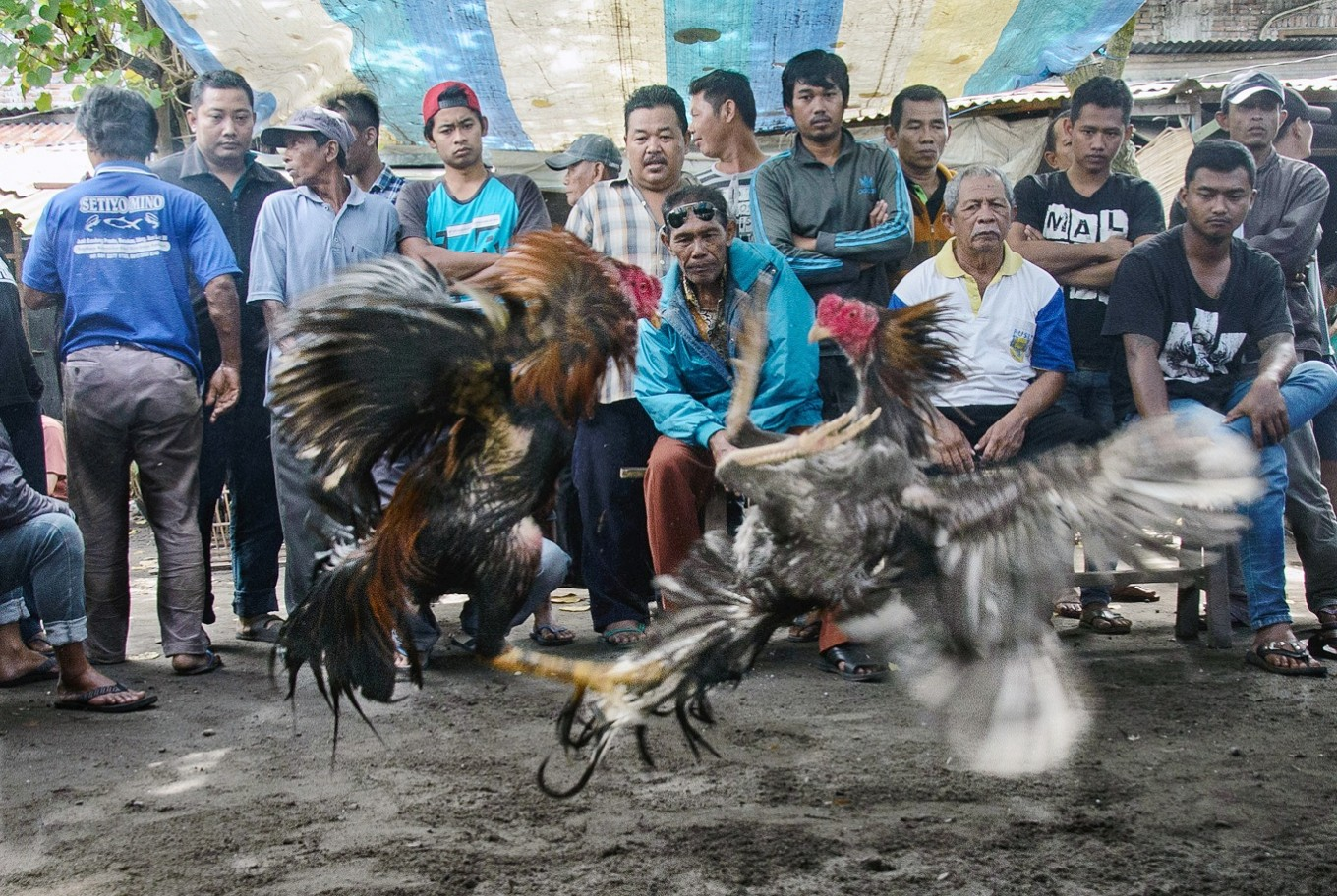 The duel: People gather around a cockfighting arena.