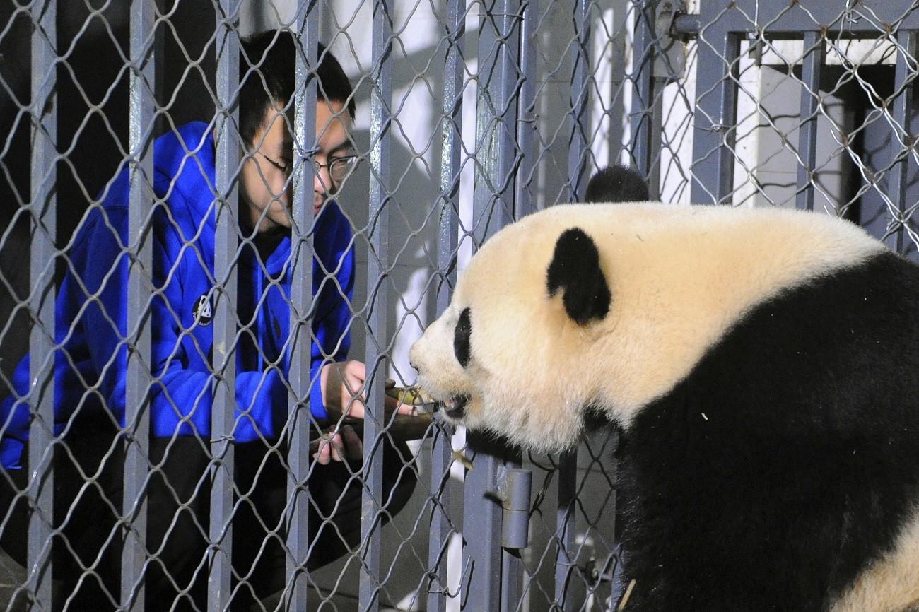 Making a fun living as a panda nanny