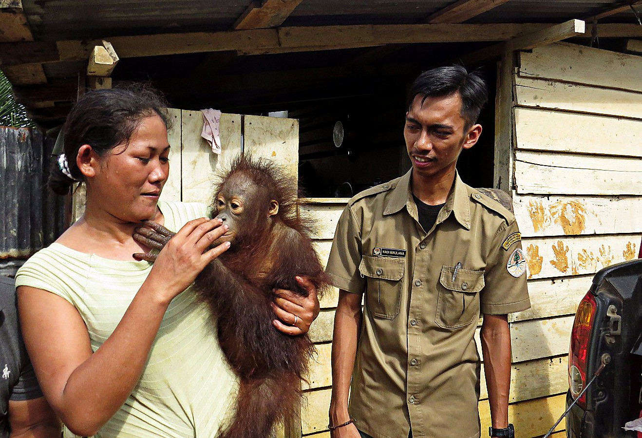 2 orangutans confiscated, handed over to conservation agency in West Kalimantan