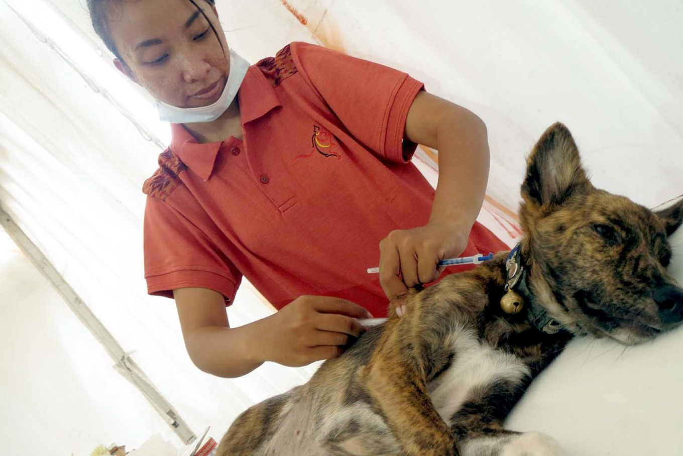 A veterinarian anesthetizes a dog during a free rabies vaccination and neutering program at Lumintang Field, Denpasar, on Nov. 24, 2016. JP/ Zul Trio Anggono