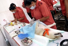 Veterinarians sterilize a cat and a dog during a rabies vaccination and neutering program at Lumintang Field, Denpasar, on Nov. 24, 2016. JP/ Zul Trio Anggono