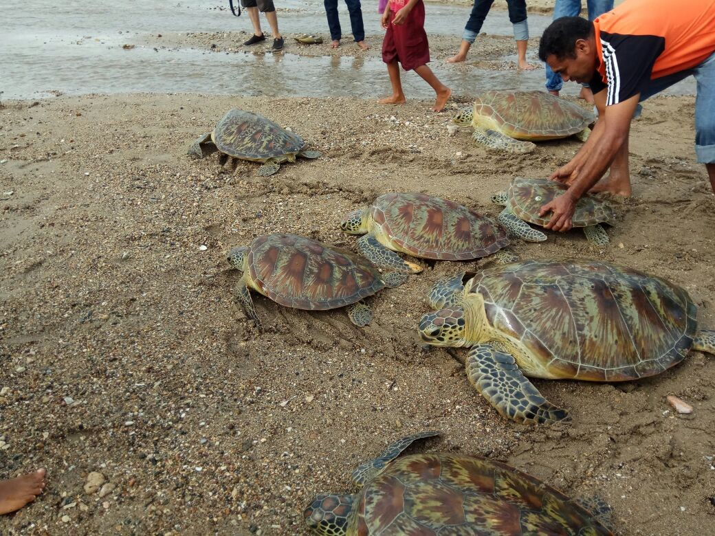 Endangered green turtle found dead with wounds in Polewali Mandar