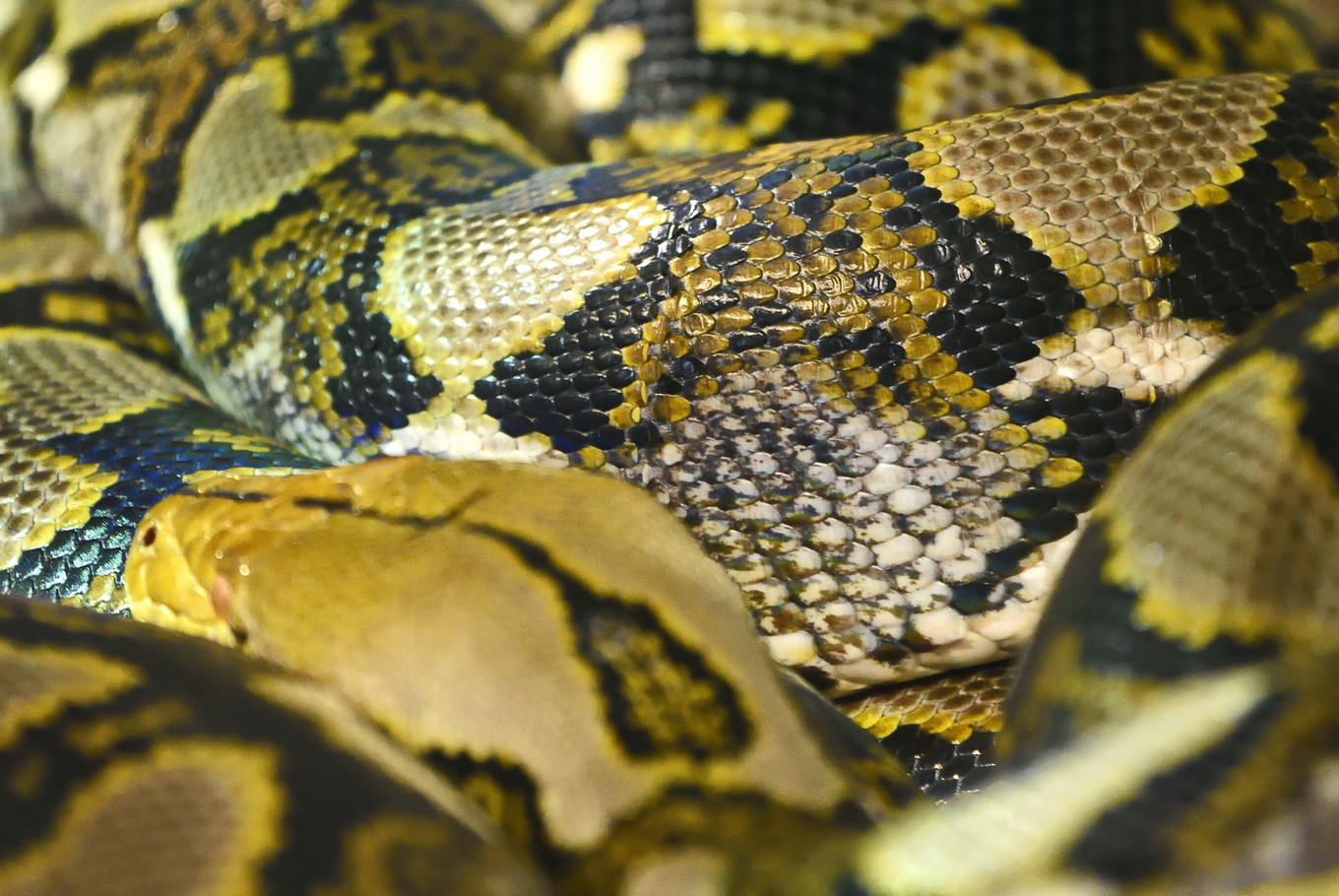 For farmers in Mamuju, python skins traded for pocket money