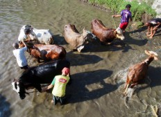 As a symbol of gratitude to God, Bunder-Jarakan's farmers hold the guyang sapi [bathing the cows] ceremony on Saturday. JP/Ganug Nugroho Adi