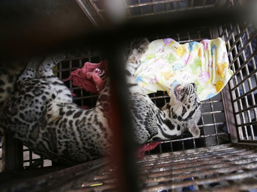 Indonesian police arrest man who bought orangutan, leopard, bear