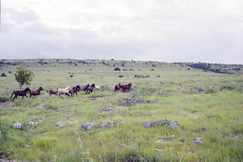 Into the green: Horses are seen on a savannah in Sumba's northern coastal area, East Nusa Tenggara.