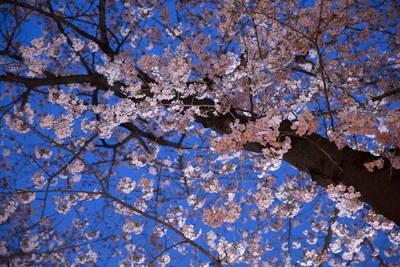 Forecast for Japan's cherry blossom season laid out
