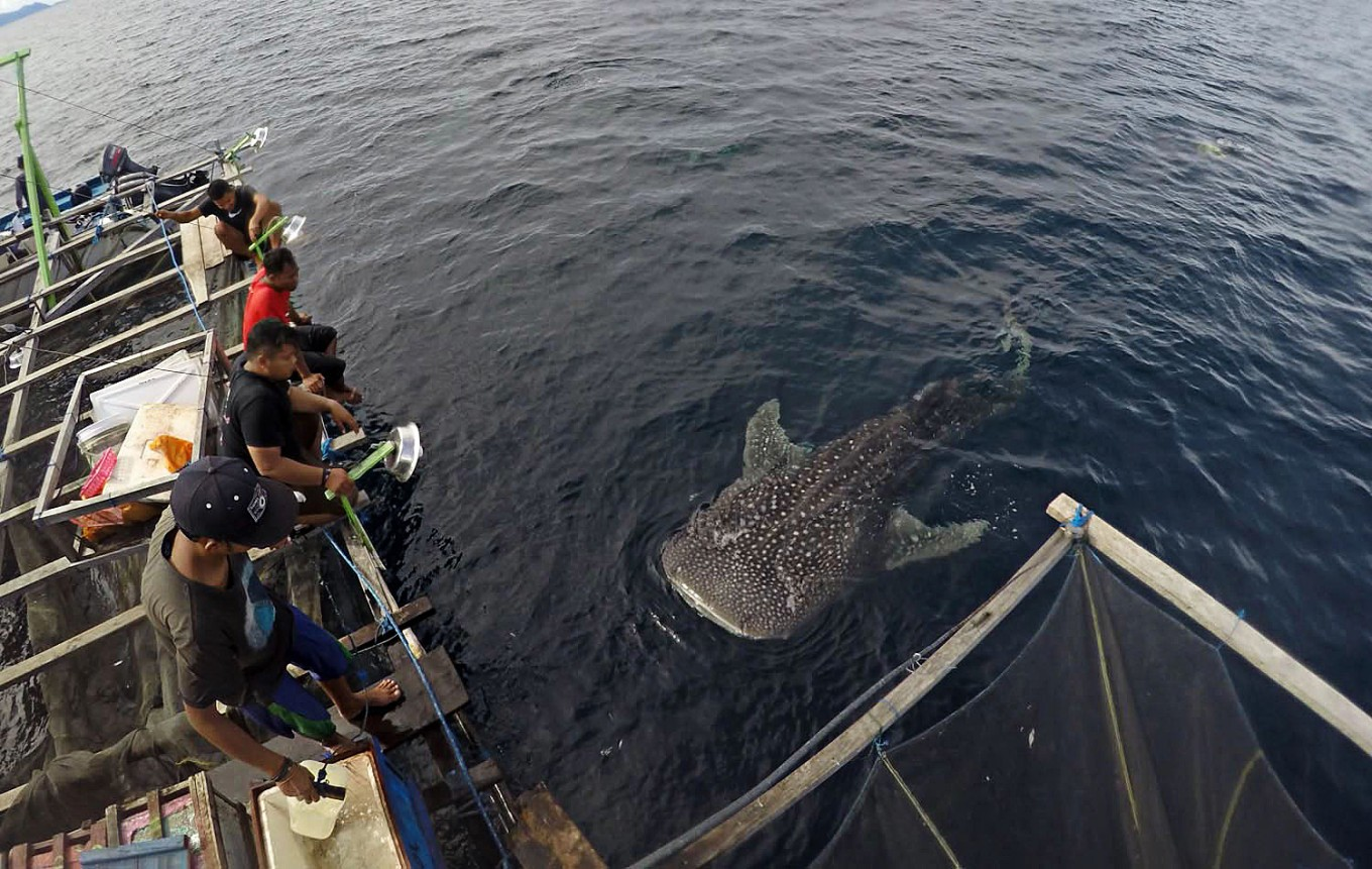 Research reveals low number of female whale sharks in Papua