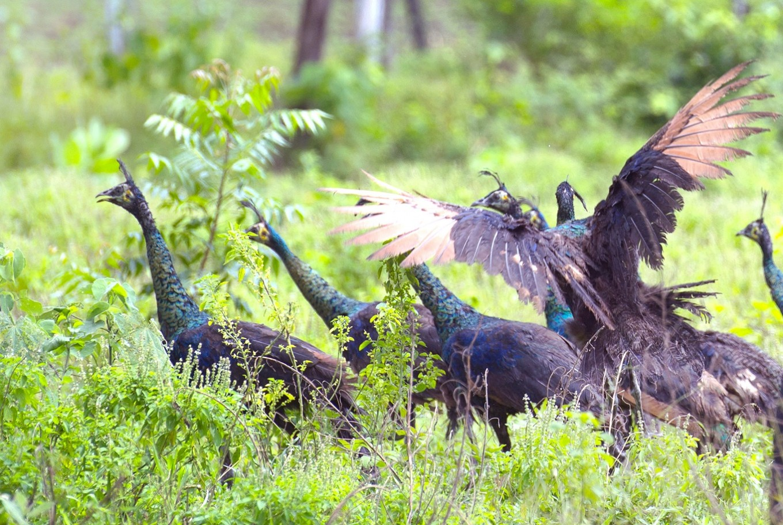 Endangered birds find home in Baluran National Park