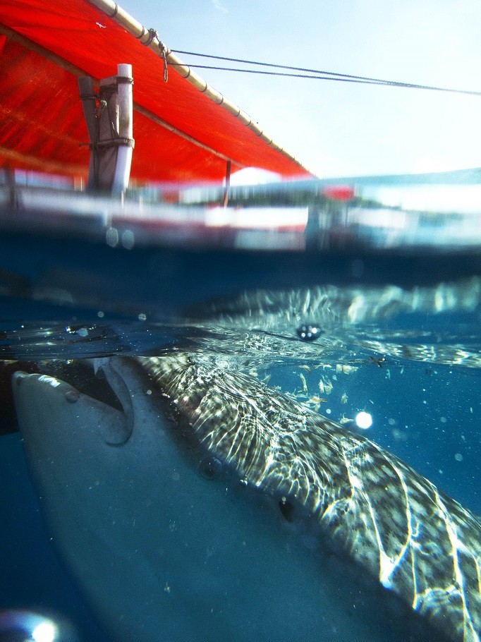 Feeding and swimming with whale sharks has become a must do in Gorontalo.