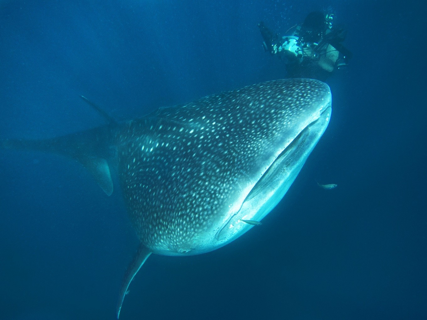 Since the whaleshark's picture went viral, Gorontalo has become one of the hippest local destinations in Indonesia