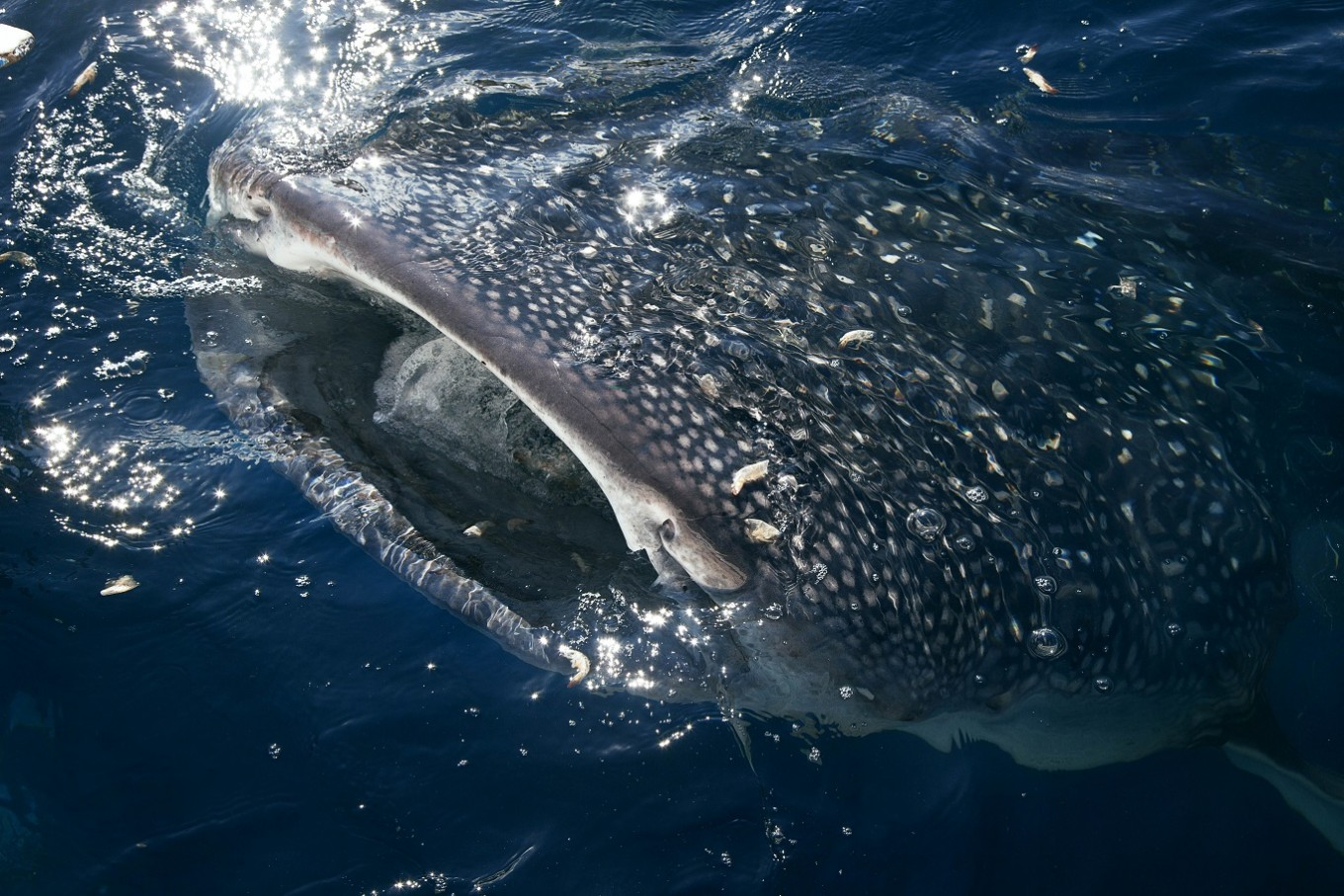 Whale sharks have been commonly spotted in this area for two years.