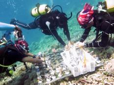 Three divers tie coral reef stems to a platform. JP/Suherdjoko