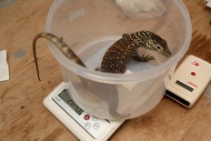 A baby Komodo lizard is being weighed. JP/P.J.Leo