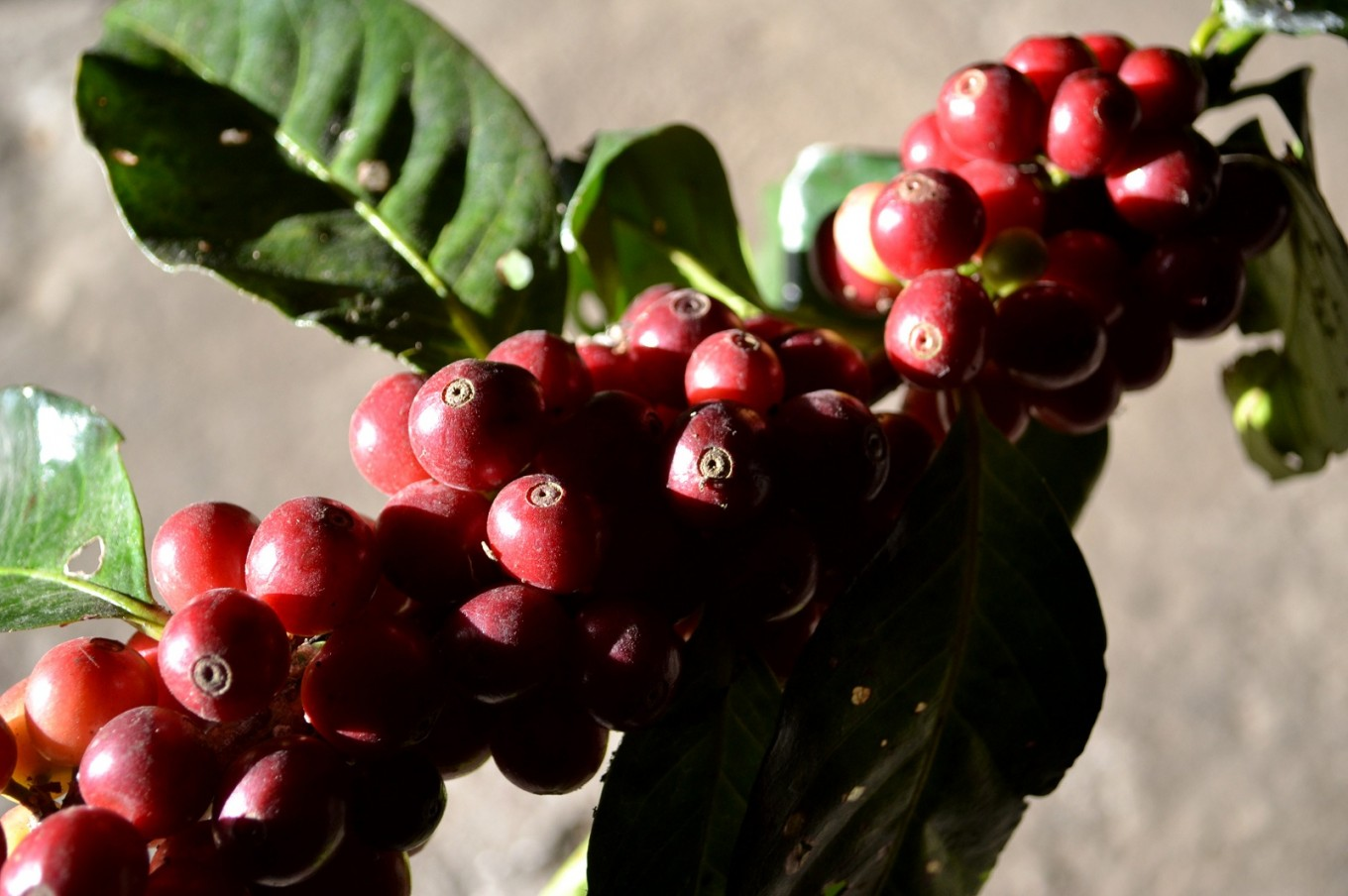 Indonesia's coffee trail: In search of your coffee cup origin