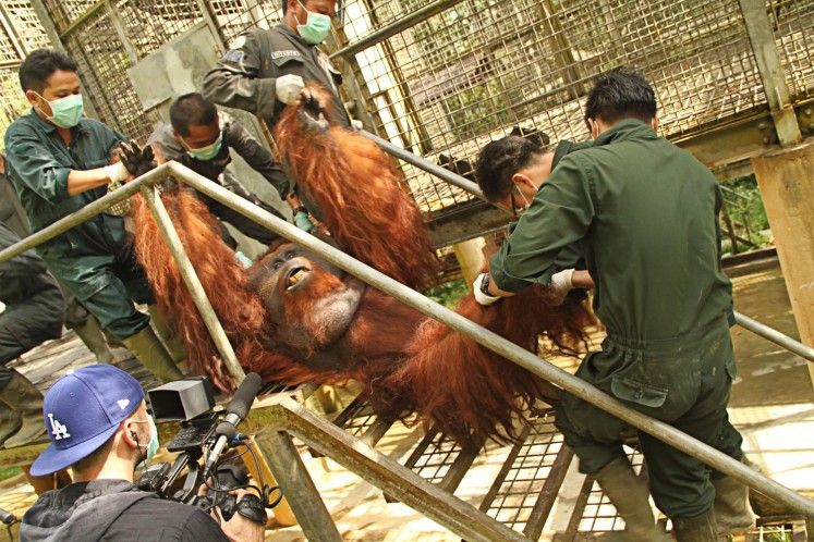 Into the wild: Borneo Orangutan Survival Foundation (BOSF) workers move Romeo, a 30 year-old East Kalimantan orangutan, to a cage on an artificial island in Samboja Lestari, Kutai Kartanegara, to prepare for his release into his natural habitat.