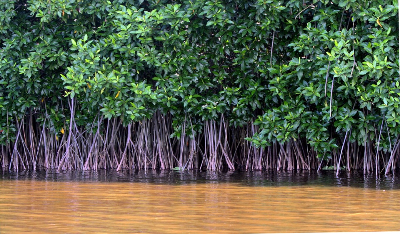 Endangered Mangrove found