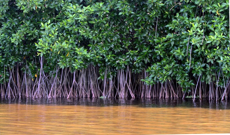Endangered mangrove species found in West Kalimantan