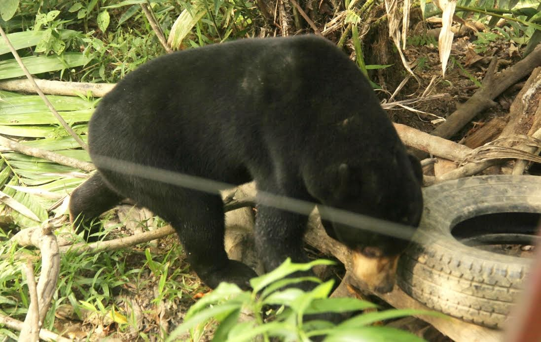 Four in Riau arrested for killing, eating protected sun bears