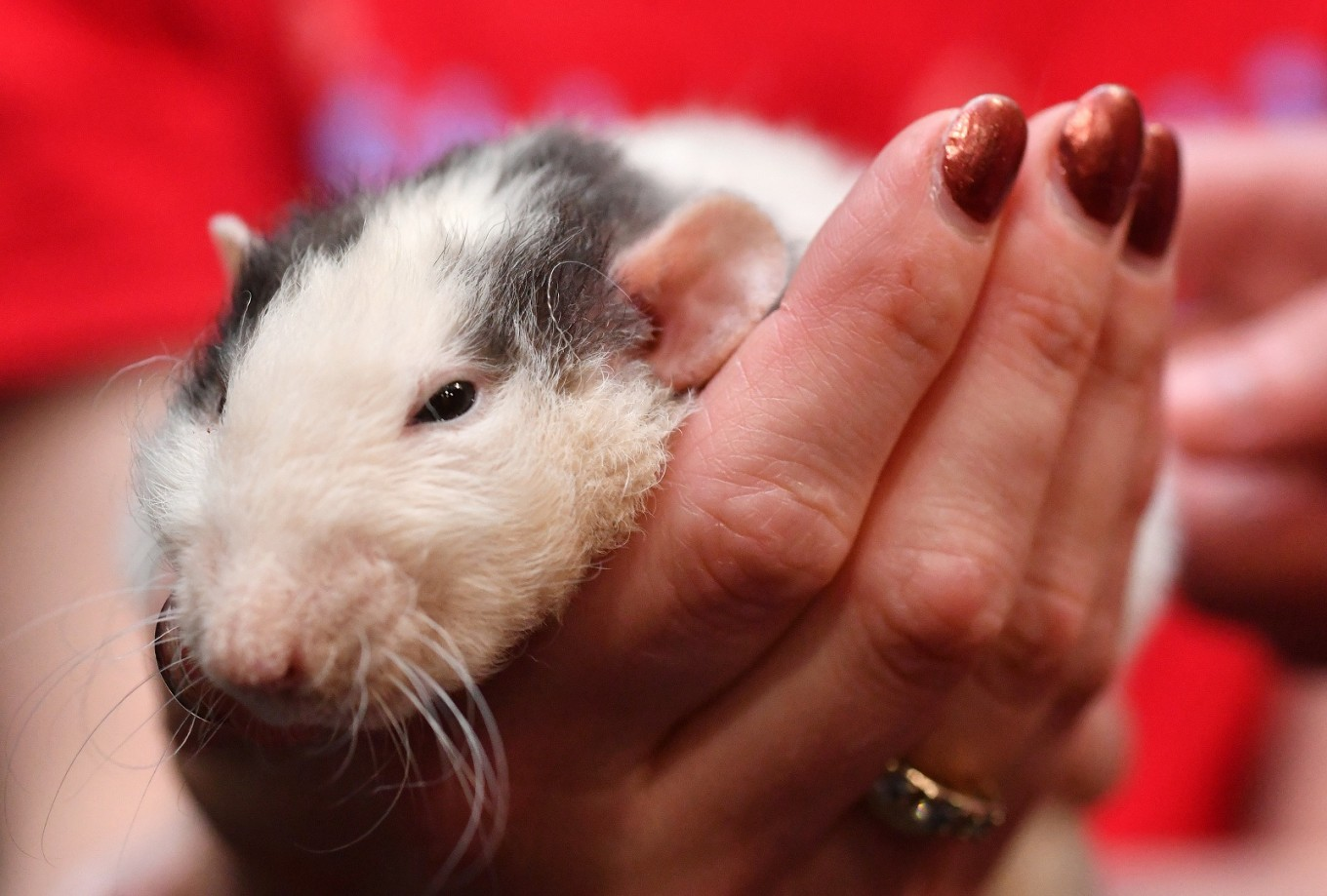 I'll have a rat with that: San Francisco's new rodent cafe