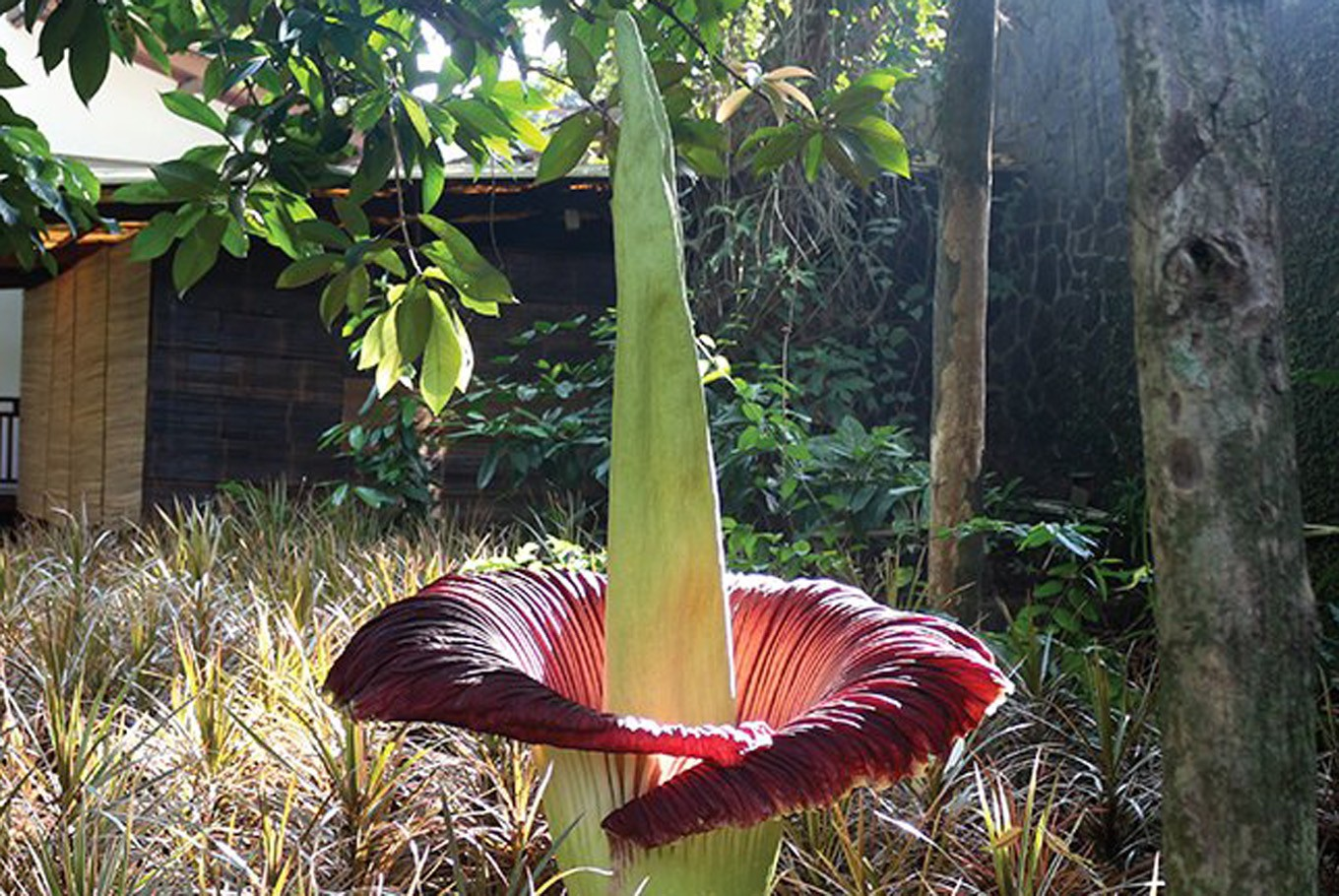 Bengkulu University researchers cultivate two corpse flower species