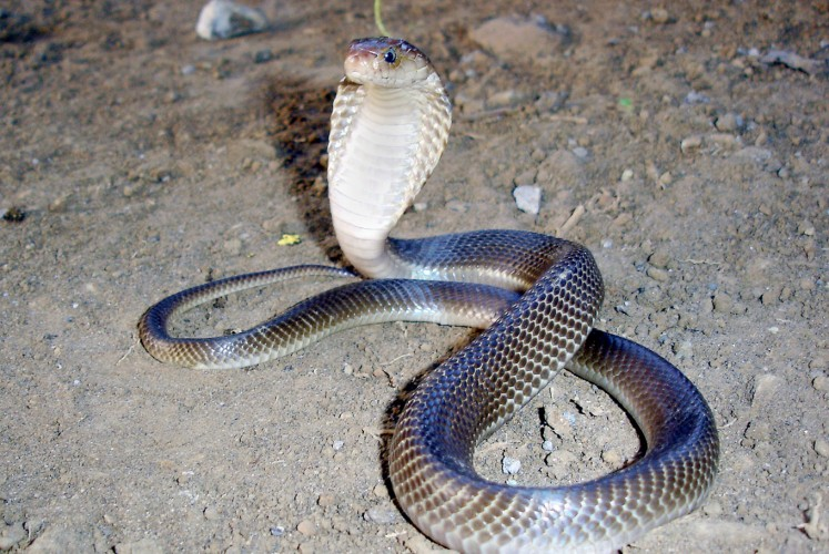 Slithering situation: Cobras captured after terrorizing regions