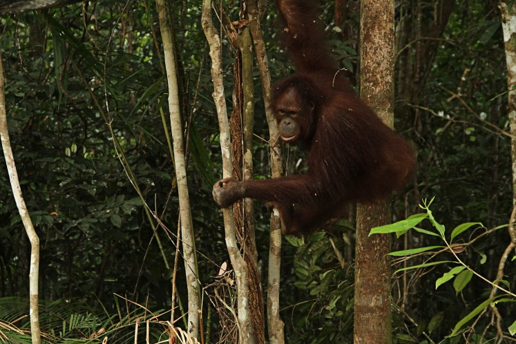 Into the wild: An orangutan rehabilitated at the Borneo Orangutan Survival Foundation (BOSF) Samboja Lestari conservation facility in Samboja district, East Kalimantan, returns to its natural habitat.