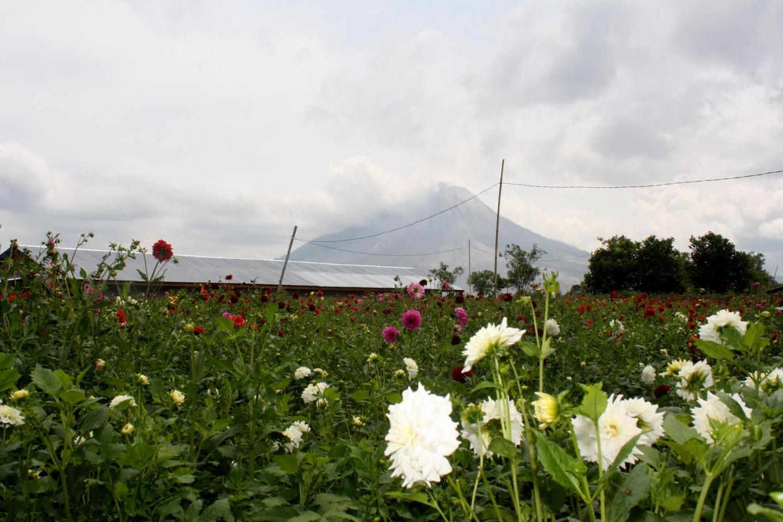 In bloom: A field of flowers is shown in this photo of Simpang Empat regency, located around 8 kilometers from Mount Sinabung in Karo, North Sumatra. JP/Apriadi Gunawan