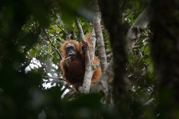 Orangutan conservation: Government agencies no 'cleaning service'