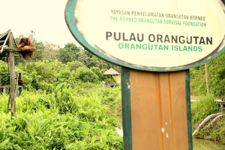 In the sanctuary: Two orangutans play at Borneo Orangutan Survival Foundation's (BOSF) rehabilitation center in Samboja Lestari, around 45 kilometers north of Balikpapan, East Kalimantan.