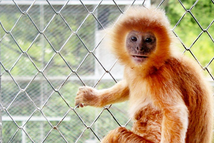 Hi there!: An East Javan langur sits in a cage at the Javan Langur Center in Batu, East Java.