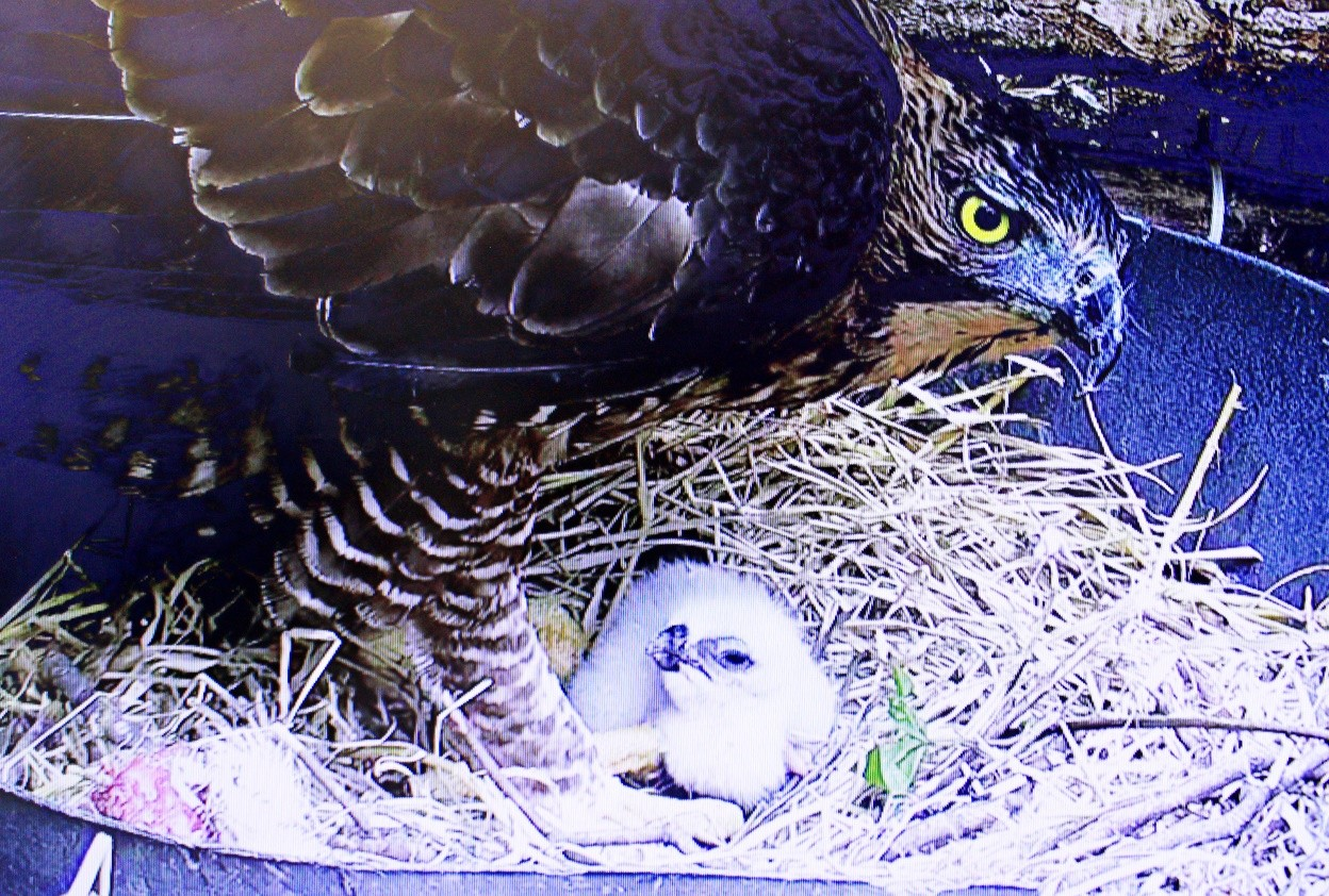 Eaglet hatches at Taman Safari