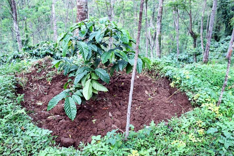 Local produce: A well maintained bush at the Kawisari plantation.