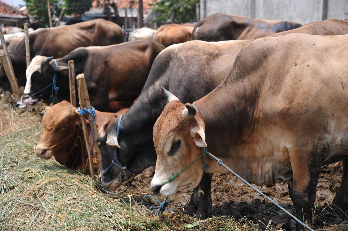 Higher number of fit livestock for Idul Adha in North Jakarta