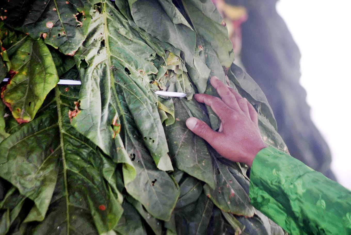 Our produce: A farmer checks on a tobacco offering before it is paraded.